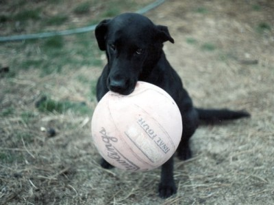 Labs-R-It Labrador Retriever Breeding and Training Dixie with ball