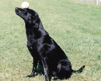 Labas-r-it Labrador Retriever Dog Training Dixie balancing ball