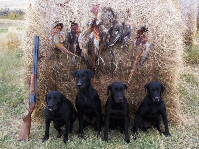 Labs-R-It Labrador Retriever Breeding and Training Starter dogs gun dogs