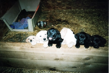 Labs-R-It Labrador Retriever Breeding and Training Holley Puppies for sale