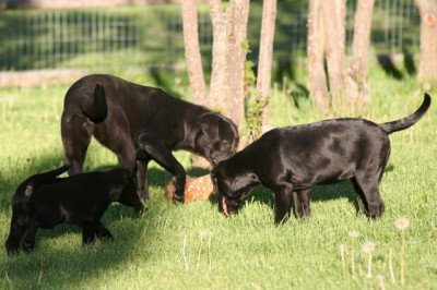 Labs-R-It Labrador Retriever Breeding and Training Faith Marley Sendher