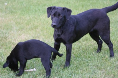 Labs-R-It Labrador Retriever Breeding and Training Faith and Sendher