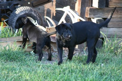 Labs-R-It Labrador Retriever Breeding and Training Marley and Sendher 2