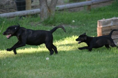 Labs-R-It Labrador Retriever Breeding and Training Marley and Sendher