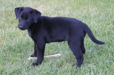 Labs-R-It Labrador Retriever Breeding and Training Sendher