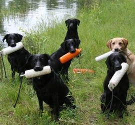 Labas-r-it Labrador Retriever Dog Training Dogs and Bumpers