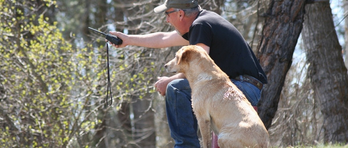 Labrador retriever Breeders and Training