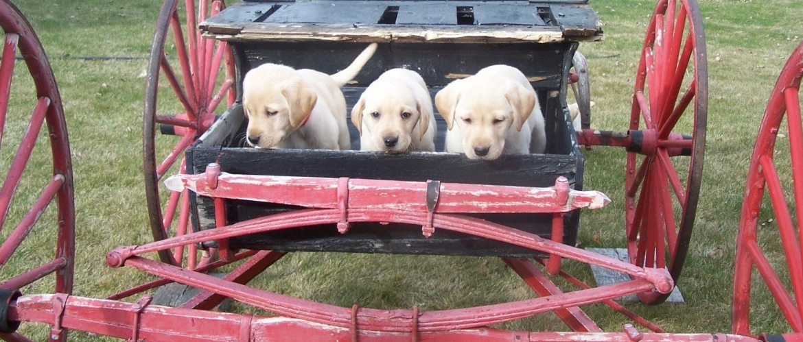 Labrador retriever breeders Puppies in wagon