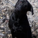 Labs-R-It Labrador Retriever Breeding and Training Willhe