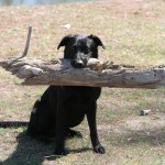 Labs-R-It Labrador Retriever Breeding and Training Willhe Loves his Log
