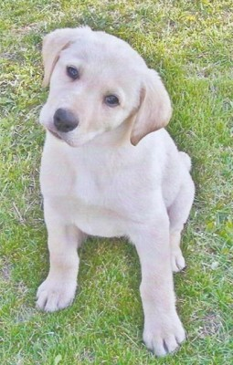 Labs-R-It Labrador Retriever Breeding and Training Testimonial from the Spalinger Family with Candy