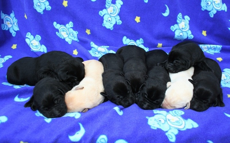 Labs-R-It Puppies for sale