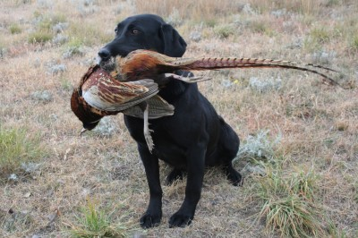 Labas-r-it Labrador Retriever Dog Training Little Bit Pheasant