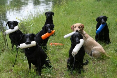 Labs-R-It Labrador Retriever Training Methods Dogs and Bumpers