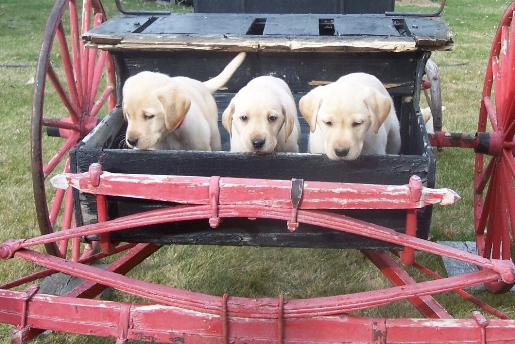 Puppies for Sale – Labrador Retriever Breeders and Dog Training